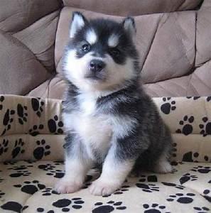 baby siberian husky puppies blue eyes | Zoe Fans Blog ...