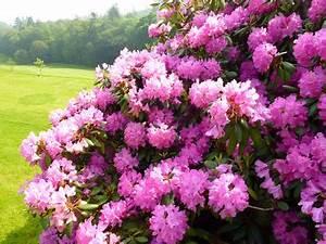 Wann Blüht Der Rhododendron : rhododendron wachstum pro jahr ostseesuche com ~ Eleganceandgraceweddings.com Haus und Dekorationen