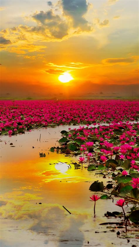 wallpaper lotus flowers sunset hd nature
