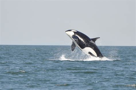 Great White Shark Jumping Out Of Water Wallpaper Orcas Facts About Killer Whales