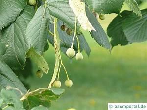 Linde Baum Steckbrief : krim linde tilia x euchlora ~ Orissabook.com Haus und Dekorationen