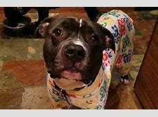 These Pitties In Pajamas Will Bust Every Bully Breed Myth