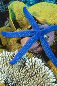 Great Barrier Reef Blue Starfish