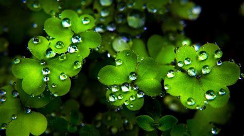 top 20 hình ảnh cỏ ba lá đẹp nhất thế giới full hd