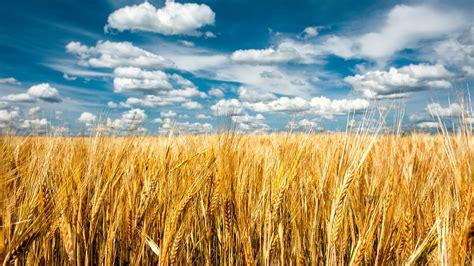 nature landscape clouds field grain spikelets