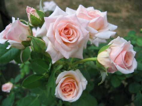 when to plant roses planting roses related keywords suggestions planting roses long tail keywords