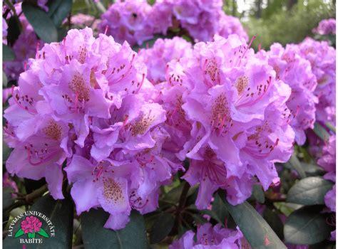 Latvijas stādi - Rhododendron 'Sprīdītis' - mūžzaļais ...