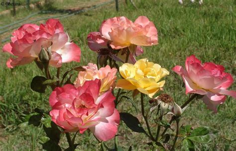 beautiful roses garden prayanika the journey beautiful and colorful roses from lalbagh rose garden
