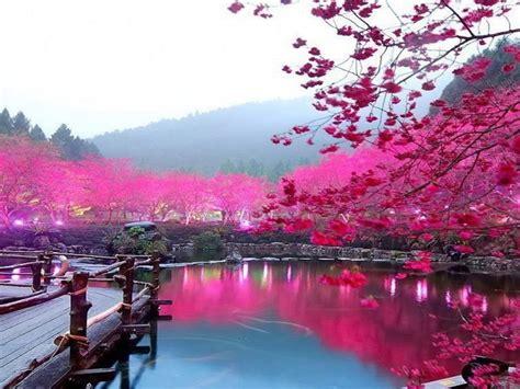 stickers muraux cerisier japonais cherry blossom pictures wallpaper wallpapersafari