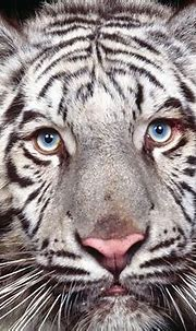 Scientists Discover How White Tigers Got Their Stripes