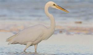 "How to Identify White Herons—Excerpt from ""Better Birding ..."