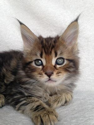 maine coon kittens  sale sampson  essie