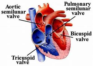 Difference Of Arteries And Veins And Structure Of Human Heart  Sa And Av Node  Definition