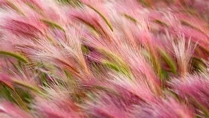 5k Barley Foxtail Wallpapers