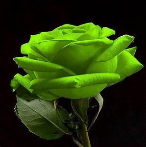 1000+ images about Roses all colors on Pinterest | Cameo ...