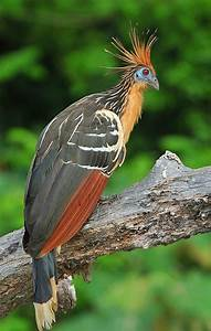 86 best Hoatzin images on Pinterest | Beautiful birds ...