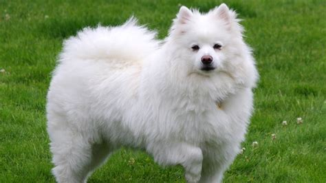 american eskimo shedding 9 dogs that look like huskies