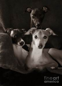 Italian Greyhound Trio In Black And White Photograph by ...