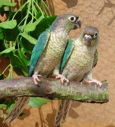 vogelsite pyrrhura molinae molinae