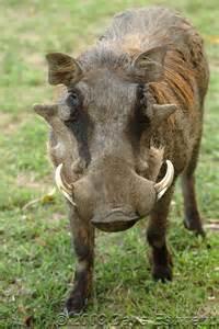 Warthog African Animals