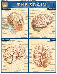 Brain Quickstudy U00ae Complete  Labeled Illustrations Of The