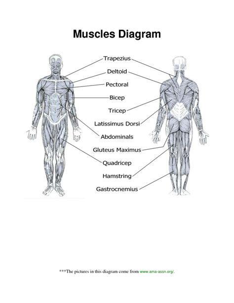 Human Body Muscle Diagram Worksheet  Human Anatomy Diagram