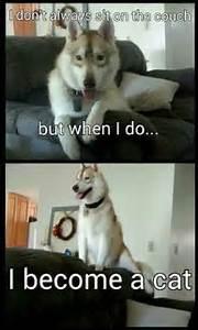 1000+ images about Siberian Husky on Pinterest | Husky ...