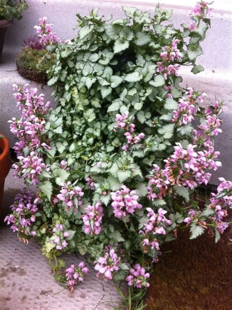 plant identification ground cover plants perennials