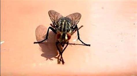 astuce contre les moucherons dans la cuisine l astuce pour ne plus avoir de mouches qui tournent autour
