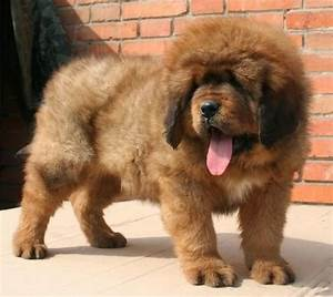 Tibetan Mastiff Puppies Cute and Funny Actions Pictures ...