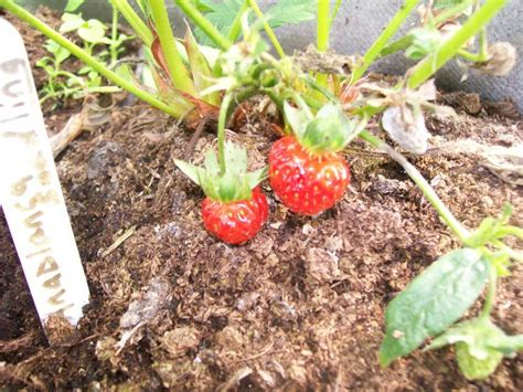 how to grow strawberries how to grow strawberries from seeds 5 steps
