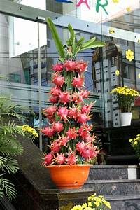 dragon fruit plant | nature | Pinterest | Dragon fruit ...