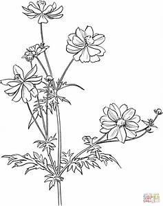 Cosmos Bipinnatus or Garden Cosmos or Mexican Aster ...