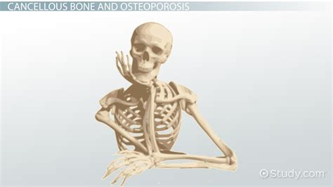 Cancellous Bone Definition Structure And Function Video