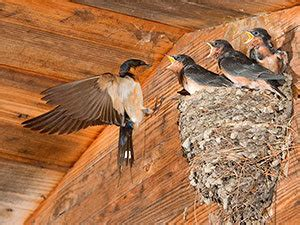 how to get rid of barn swallows birds nests and bird houses best free home design
