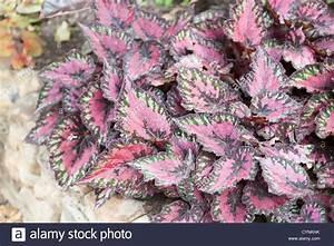 Pflanze Lila Blätter : rex begonia stockfotos rex begonia bilder alamy ~ Eleganceandgraceweddings.com Haus und Dekorationen