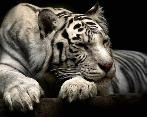 cute animal wallpapers puffy pet images  friends
