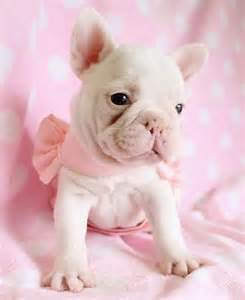 Teacup French Bulldog Puppy