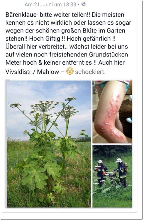 schierling ist eine der giftigsten pflanzen  unseren