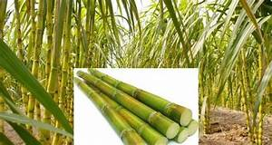 Sugarcane Farming Guide For Beginners | Agri Farming