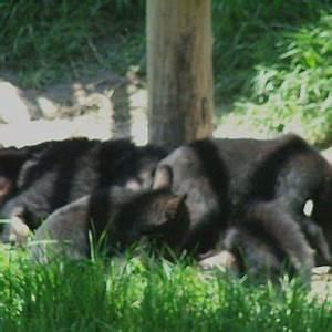 Oso Negro  Ursus Americanus  Descansando Despu U00e9s De