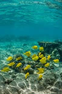 Yellow Tangs Coral Reef