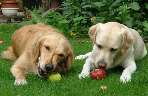 dogs eat bananas  apples famlii