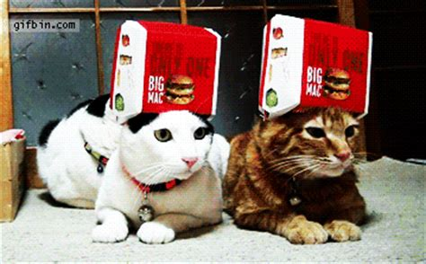 Big Mac Hat Cats  Best Funny Gifs Updated Daily