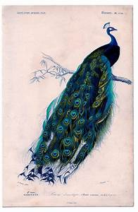 Cup Half Full  Peacock Print