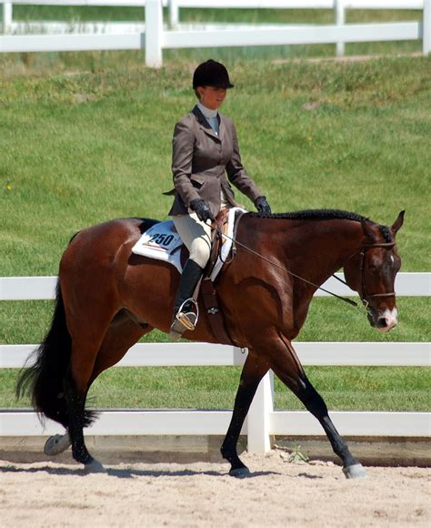 saddle horse hunter quarter under horses thoroughbred grey class bay canter level saddlery division winner tall many very he custom