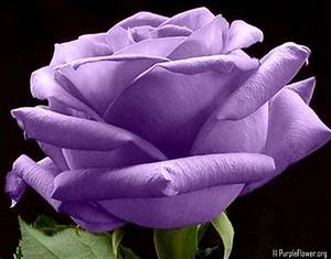 Image Gallery most beautiful purple roses