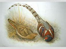 Mrs Hume's pheasant Wikipedia