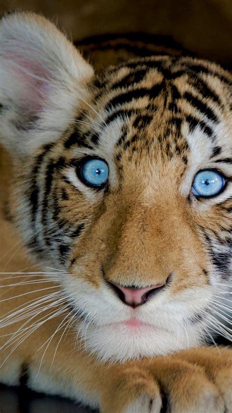 wallpaper tiger funny animals  animals