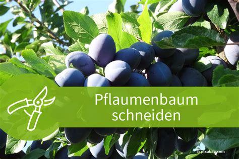 Pflaumenbaum Richtig Pflanzen Und Pflegen by Wann Pflaumenbaum Schneiden Pflaumenbaum Schneiden